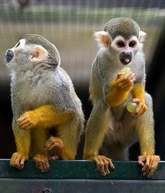 monkey grapes.jpg